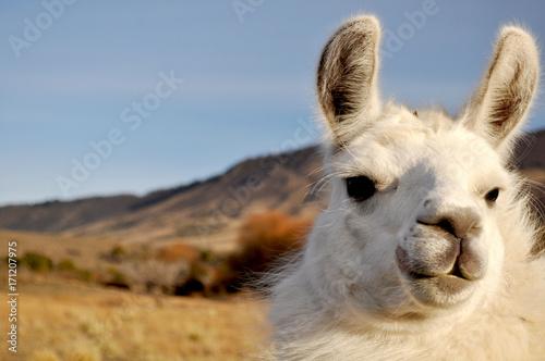 Foto op Canvas Lama Patagonian Llama
