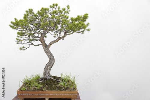 Fotografie, Obraz  Scots pine (pinus sylvestris) bonsai on a wooden table and white background