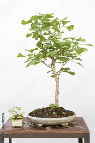 Ginkgo Biloba Bonsai On A Wooden Table And White Background Buy