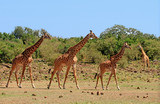 Fototapeta Sawanna - Journey of Giraffes walking across the African Savannah in South Luangwa, Zambia