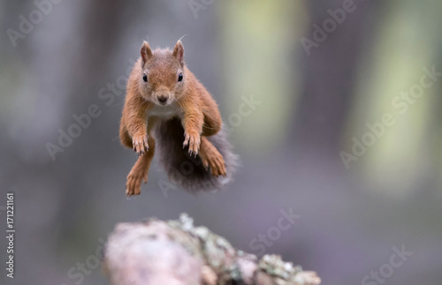 Papiers peints Squirrel Red squirrel (sciurus vulgaris) jumping