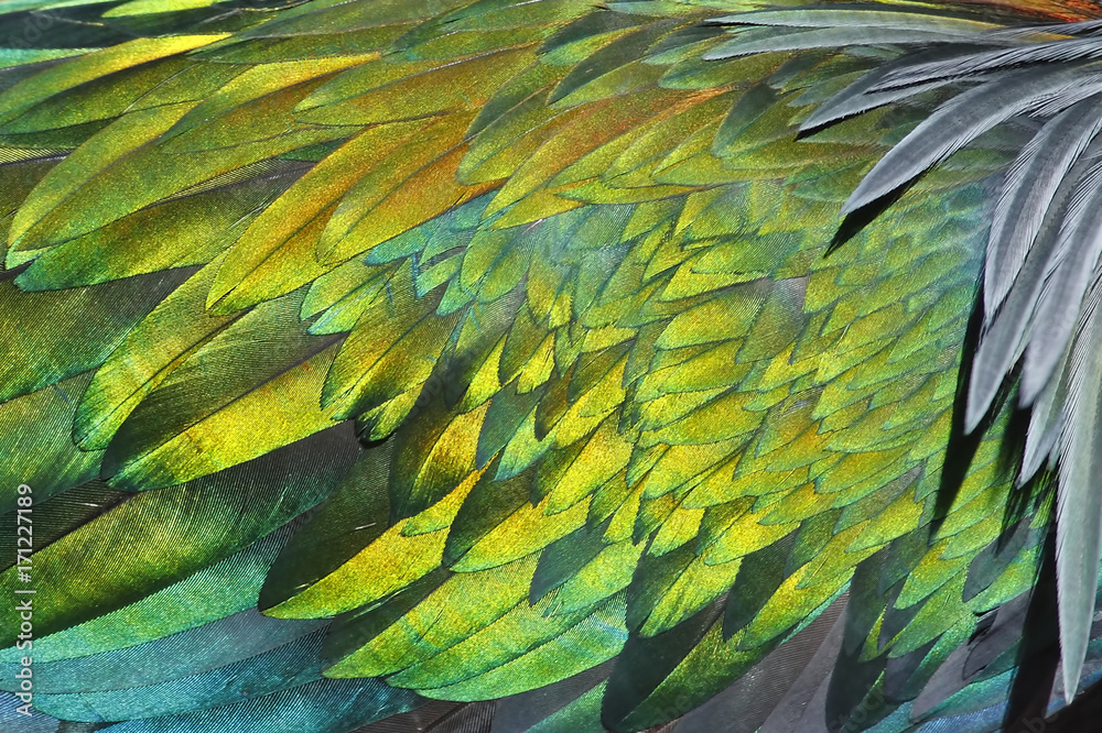 Fototapety, obrazy: Texture of feather's Nicobar pigeon Caloenas nicobarica
