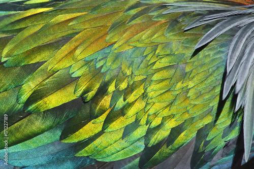 Obraz na plátně  Texture of feather's Nicobar pigeon Caloenas nicobarica