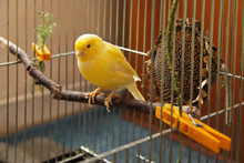 Yellow Canary Sitting On  The ...