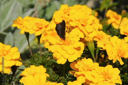 Plakat motyl karmiący się kwiatami nagietka afrykańskiego