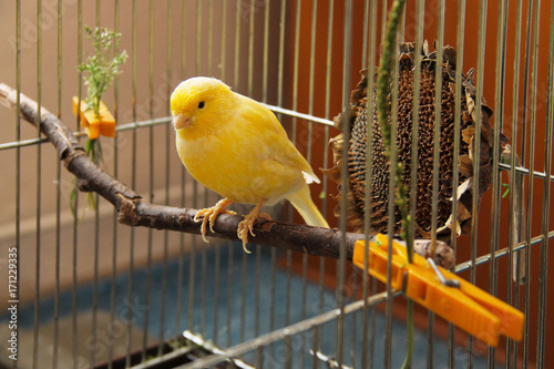 yellow canary sitting on  the twig in the cage Obraz na płótnie