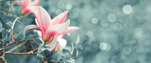 Foto op Plexiglas Magnolia Background with blooming pink magnolia flowers