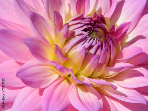 Poster de jardin Dahlia Dahlia Center Pink