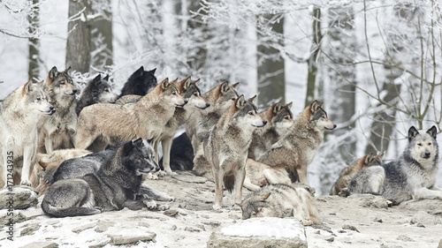 Cadres-photo bureau Loup Wolfsrudel im Winter