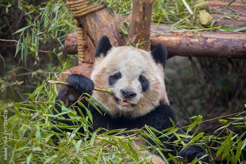 Spoed Foto op Canvas Panda Giant panda eating bamboo
