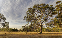 Sunset On The Gum Tree
