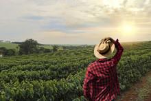 Farmer Working On Coffee Field...