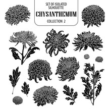 Set Of Isolated Chrysanthemum Collection 2. Cute Flower Illustration In Hand Drawn Style. Silhouette On White Background.