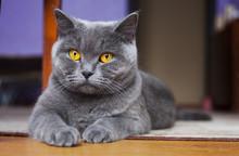 British Shorthair Cat Lying On...