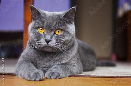 Obraz British Shorthair Cat lying on the floor - fototapety do salonu