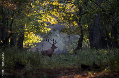 Poster Hert Red deer walking in forest