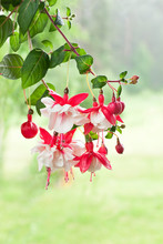 Bunch Of A Blossoming Fuchsia On A Natural Background