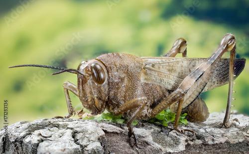Fotografía Focus Stacking - Migratory Locust, Locust, Locusta migratoria