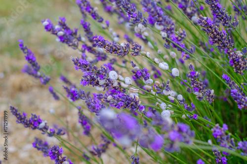 Fotobehang Lavendel Petits escargots blac sur les fleurs de lavande.