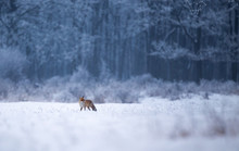 Red Fox Walking In Forest On S...