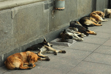 Stray Dogs Sleeping On A Sidew...