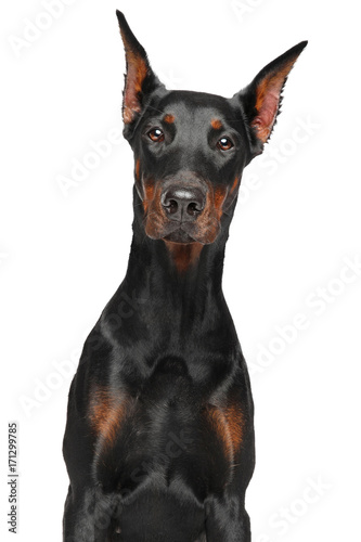 Tela Doberman on white background