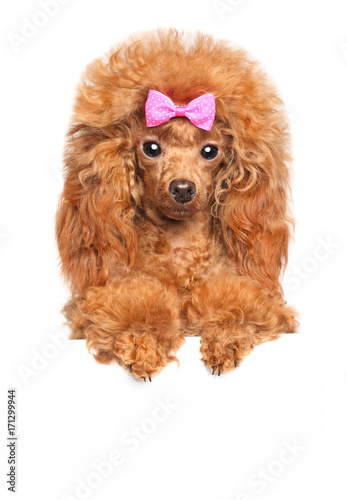 Toy poodle above banner © jagodka