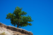 A Lone Live Oak Tree On A Hilltop And Blue Sky Overhead, In The Hills Of Voronezh Region, Russia