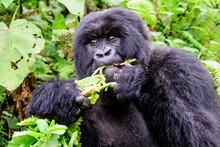Female Mountain Gorilla Feedin...