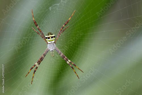 Plakat Wizerunek wielobarwny argiope pająk (Argiope pulchellla) w sieci. Owad zwierzę