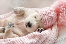 Cute Little Puppy Of A Golden Retriever Sleeping In A Pink Cap On A Pink Plaid