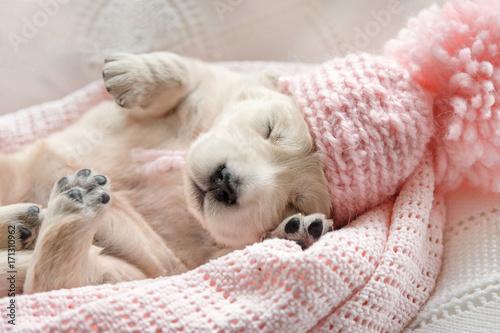Obraz Cute little puppy of a golden retriever sleeping in a pink cap on a pink plaid - fototapety do salonu