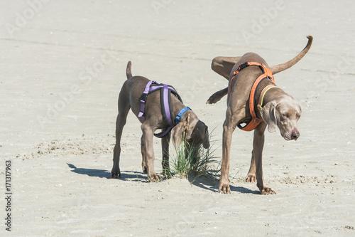 Fotografía  Erwachsener Rüde markiert über Junghund