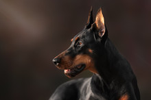 Portrait Of Purebred Doberman