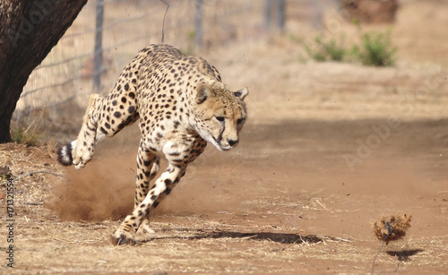 Fotografie, Obraz  Exercising cheetah: chasing a lure, going left and right