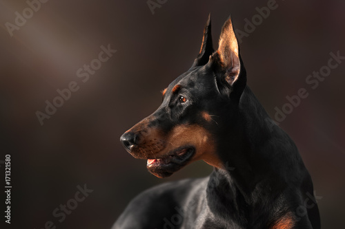 Fotografia Portrait of purebred doberman