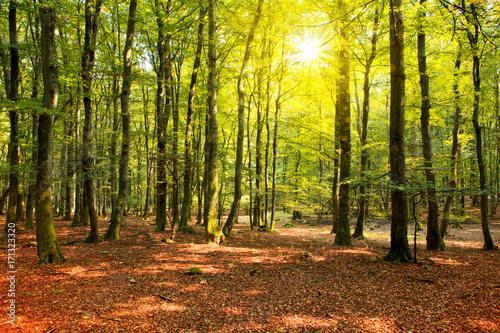 Zdjęcie XXL Jesień las z słońce promieniem.