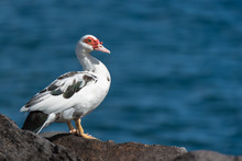 Muscovy Duck, Cairina Mosc...