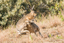 Two Hare Fighting And Biting