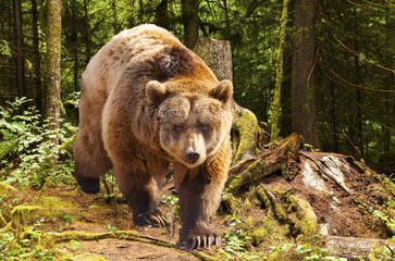 Obraz na Szklecanadian brown bear moving in the forest
