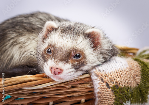 Ferret sitting in a basket Fototapet