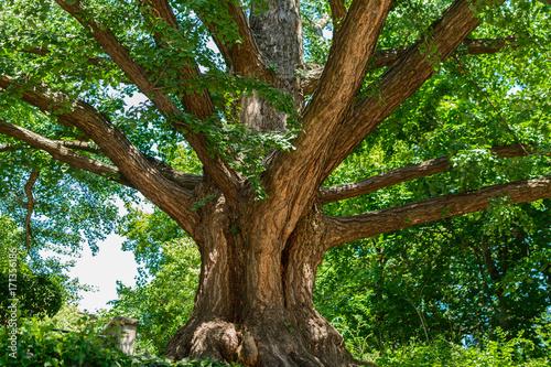 Fotografija  Gingko Tree