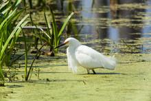 Snowy Egret In Swamp