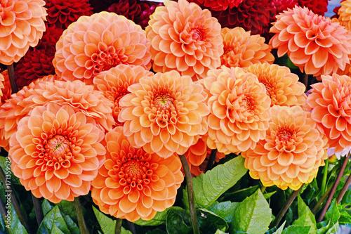 Fotobehang Dahlia Orange dahlia flowers closeup