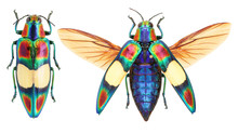 Chrysochroa Ocellata Jewel Beetle