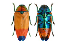 Metaxymorpha Apicalis Jewel Be...