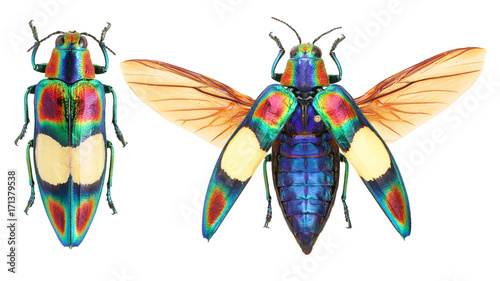 Canvas Print Chrysochroa ocellata jewel beetle