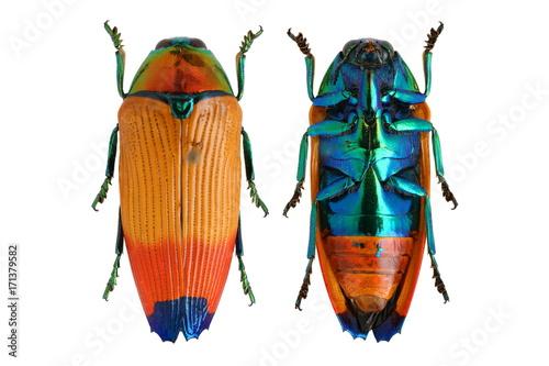 Metaxymorpha apicalis jewel beetle Fototapeta