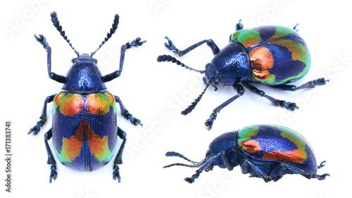 Stampa su Tela Platycorynus undatus leaf beetle