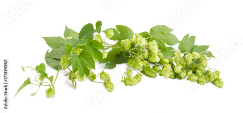 Fotografie, Obraz  Panorama of branches of hops with leaves and seed cones